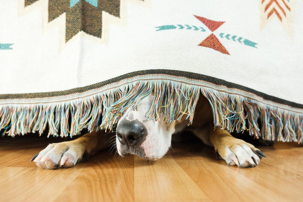 Ängstliche Hunde (©Shutterstock)