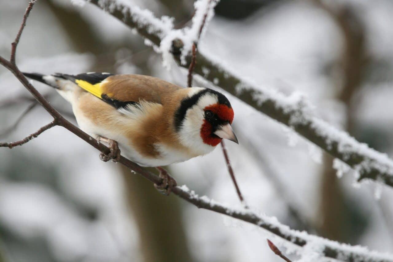 Heimische Vögel im Winter richtig erkennen