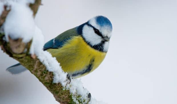 Die Blaumeise im Winter. Wenn die Bäume kahl sind, lassen sich Vögel besonders gut beobachten. (© Andreas Giessler)